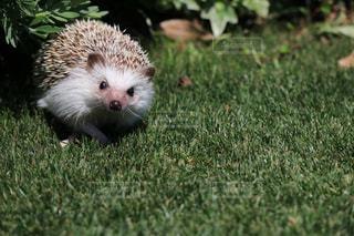草の小さな茶色の動物の写真・画像素材[1164525]