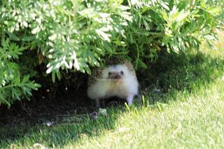 木陰でひと休みするハリネズミの写真・画像素材[1164983]