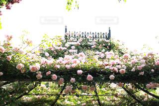 横浜イングリッシュガーデンの薔薇の写真・画像素材[1179844]