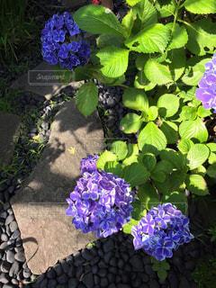 紫色の紫陽花の写真・画像素材[1216561]