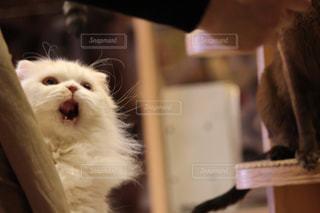 ご飯をねだる猫さんの写真・画像素材[1254873]