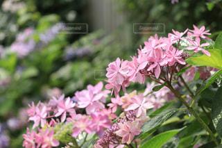 ピンク,あじさい,紫陽花,ピンク色,pink,アジサイ,横浜イングリッシュガーデン