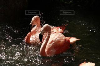 水の中を泳ぐ鳥の写真・画像素材[1434804]