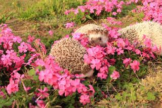 ピンク,ハリネズミ,芝桜,小動物,かくれんぼ,ピンク色,はりねずみ