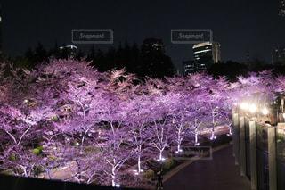 ピンク,夜桜,ライトアップ,ピンク色,pink,ミッドタウン,東京ミッドタウン
