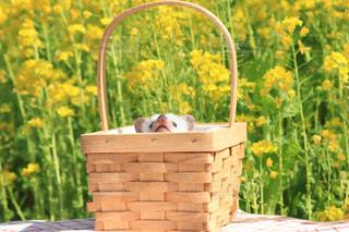 春,黄色,菜の花,ペット,お花見,ハリネズミ,イエロー,黄色の絨毯,黄色の世界,ナノハナ