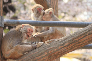 猿,桜,動物,屋外,花見,動物園,変顔,木目,群れ,霊長類,ニホンザル,3匹,サル,井の頭自然文化園,ミルクティー色