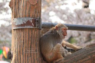 猿,桜,動物,屋外,花見,動物園,変顔,木目,ニホンザル,サル,井の頭自然文化園,ミルクティー色