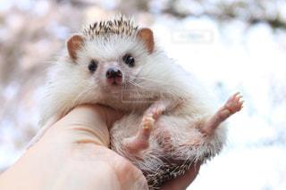 小動物を抱く手の写真・画像素材[2280002]