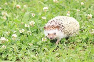 草の中の小さなハリネズミの写真・画像素材[3140078]