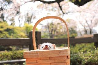 桜を見上げるハリネズミの写真・画像素材[4333171]