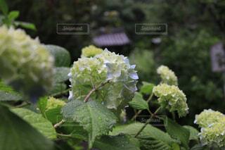 雨に濡れる明月院の紫陽花の写真・画像素材[4557132]