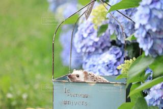 紫陽花とハリネズミの写真・画像素材[4557227]