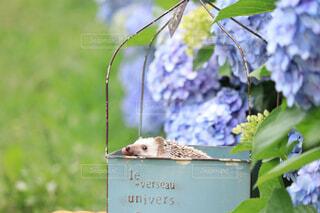 紫陽花とハリネズミの写真・画像素材[4557228]