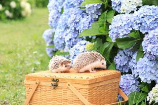 紫陽花とハリネズミの写真・画像素材[4557232]
