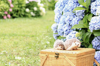 紫陽花とハリネズミの写真・画像素材[4557231]