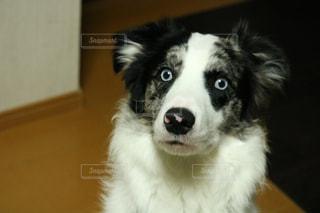 カメラを見て茶色と白犬の写真・画像素材[973171]