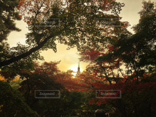 森の大きな木の写真・画像素材[970294]