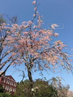 青空に桜の写真・画像素材[1102374]