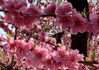 花,ピンク,梅の花,草木,満開の梅の花