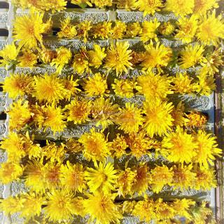 公園,花,春,黄色,鮮やか,溝,たんぽぽ,遊び,イエロー,俯瞰,色,黄,色彩,整列,yellow,タンポポ,フォトジェニック,花だらけ