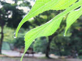 葉っぱのしずくの写真・画像素材[2109313]