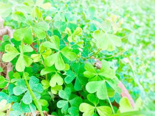 公園,庭,屋外,緑,晴天,葉っぱ,葉,日差し,鮮やか,ハート型,ハート,クローバー,草木,日中,ガーデン