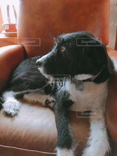椅子に座る犬の写真・画像素材[977508]