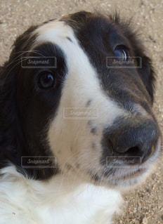 カメラを見て茶色と白犬の写真・画像素材[1001110]