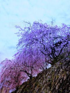 自然,空,花,春,桜,木,観光地,アート,季節,花見,サクラ,満開,観光,樹木,お花見,イベント,石,石垣,お出かけ,名所,桜の花,桜の木,dark,ダーク,見頃,城跡,さくら,行事,フォトジェニック,雅,開花,ブロッサム,物悲しい,見事,花盛り,わびしい
