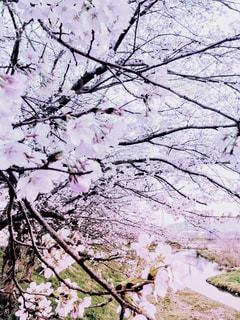 春,桜,木,屋外,ピンク,アート,季節,花見,サクラ,満開,樹木,お花見,イベント,並木,土手,川原,草木,桜の花,桜の木,見頃,さくら,花木,フォトジェニック,雅,開花,ブロッサム,見事,乱れ咲