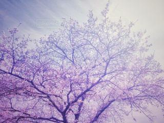 空,花,春,桜,木,雪,屋外,ピンク,綺麗,アート,季節,花見,サクラ,満開,ぼかし,樹木,お花見,イベント,桜の花,桜の木,日中,さくら,行事,花木,フォトジェニック,雅,開花,ブロッサム