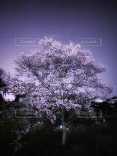 夜桜の写真・画像素材[3043112]