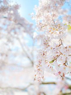 花,春,桜,木,ピンク,綺麗,観光地,日光,季節,花見,鮮やか,観光,お花見,イベント,アップ,寺院,寺,暖か,お寺さん,お出かけ,名所,お,千光寺,桜の花,桜の木,日中,見頃,さくら,行事,フォトジェニック,雅,柔らか,開花,ブロッサム,見事,うららか,花盛り