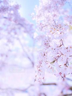 花,春,桜,木,ピンク,綺麗,観光地,アート,花見,鮮やか,サクラ,満開,観光,お花見,イベント,アップ,寺院,仏閣,暖か,お寺さん,クローズアップ,草木,お出かけ,名所,千光寺,桜の花,見頃,さくら,行事,フォトジェニック,雅,柔らか,艶やか,ブロッサム,見事,うららか