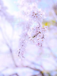 花,春,桜,木,ピンク,観光地,花見,花びら,満開,観光,お花見,イベント,仏閣,草木,名所,千光寺,桜の花,淡い,日中,さくら,柔らか,ブロッサム