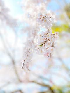 花,春,桜,木,ピンク,綺麗,観光地,季節,花見,鮮やか,サクラ,ぼかし,観光,お花見,イベント,アップ,寺院,暖か,お寺さん,クローズアップ,草木,お出かけ,名所,千光寺,桜の花,見頃,さくら,行事,フォトジェニック,雅,柔らか,艶やか,ブロッサム,見事,うららか
