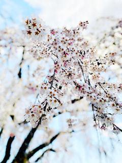 空,花,春,桜,木,屋外,ピンク,雲,綺麗,青,枝,季節,花見,鮮やか,サクラ,樹木,お花見,イベント,クローズアップ,お出かけ,名所,淡い,見頃,クラウド,さくら,行事,フォトジェニック,雅,艶やか,開花,ブロッサム,見事,花盛り,樹形