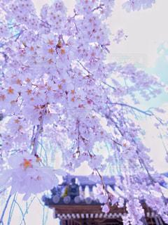 花,春,桜,木,ピンク,観光地,花見,サクラ,満開,観光,お花見,イベント,仏閣,枝垂れ桜,お出かけ,名所,千光寺,桜の花,見頃,さくら,行事,フォトジェニック,ブロッサム