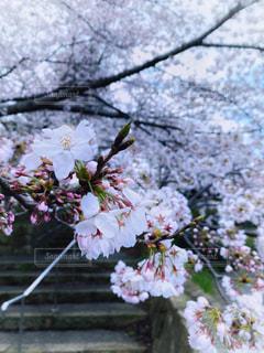 風景,花,春,桜,桜の名所,木,階段,花見,サクラ,樹木,お花見,イベント,草木,名所,桜の花,さくら,ブルーム,ブロッサム