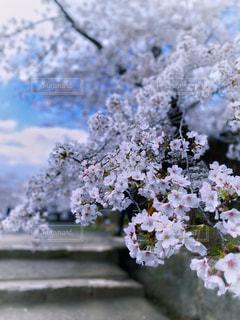 石段の桜の写真・画像素材[3061519]