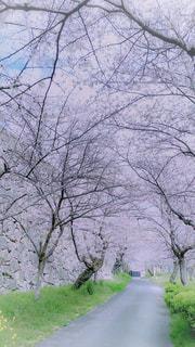 自然,公園,花,春,桜,木,屋外,ピンク,緑,綺麗,青,道路,季節,花見,景色,小道,樹木,お花見,イベント,トンネル,石,散歩道,石垣,日中,城跡,行事,石積み