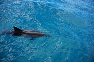 野生のイルカの写真・画像素材[2333891]