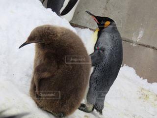 雪の中のペンギンの写真・画像素材[1823769]