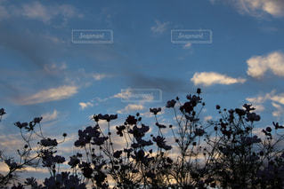 自然,空,花,秋,コスモス,雲,夕方,シルエット