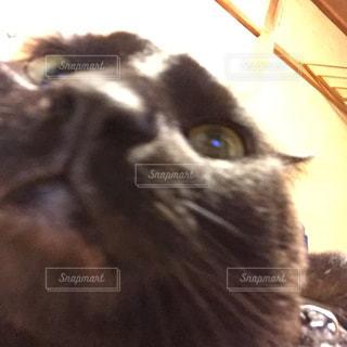 うちの猫さんの写真・画像素材[973070]