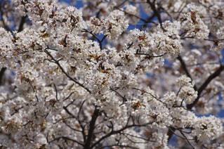 春,桜,景色,背景,一宮市,138タワー,愛知県