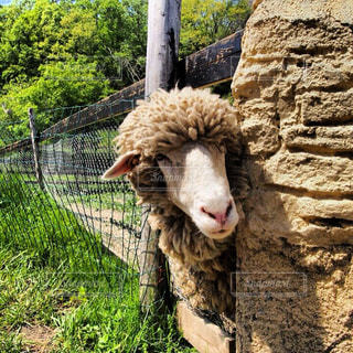 アウトドア,動物,羊,休日,お出かけ,もふもふ
