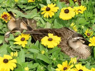 花に囲まれて眠るカルガモ親子の写真・画像素材[1176284]