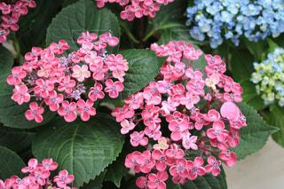 花,紫陽花,梅雨,6月,形原温泉,アジサイ,蒲郡